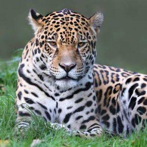 Jaguar Regenwald